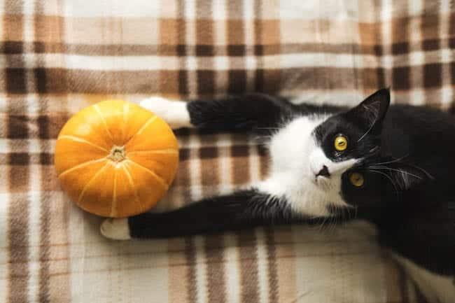 Benefits of pumpkin for cats