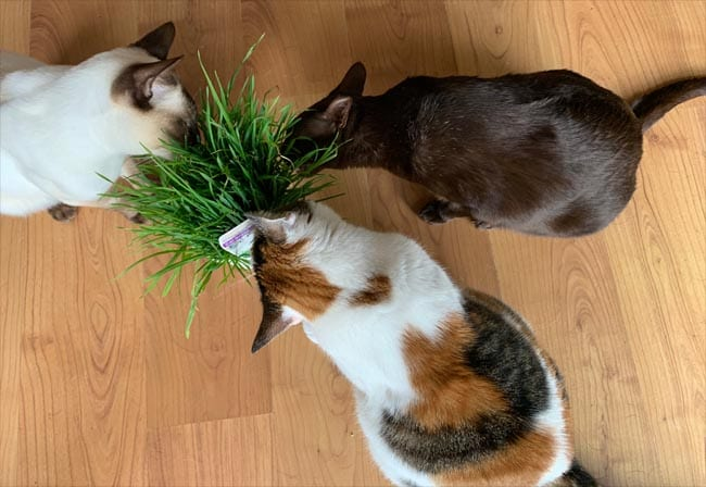 Three cats eating cat grass