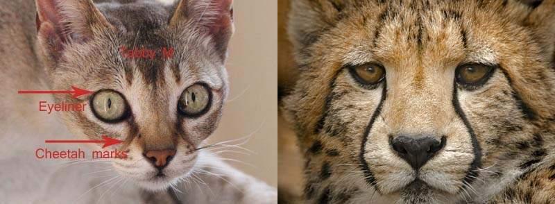 Singapura cheetah marks