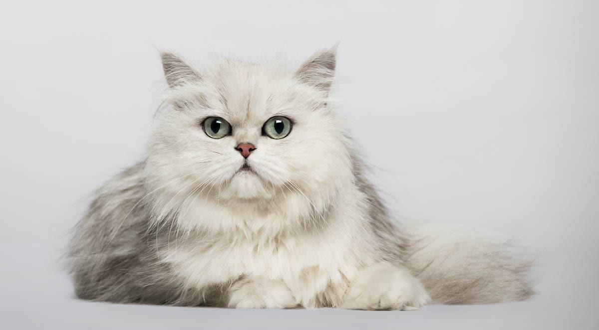 Chinchilla cat breed profile