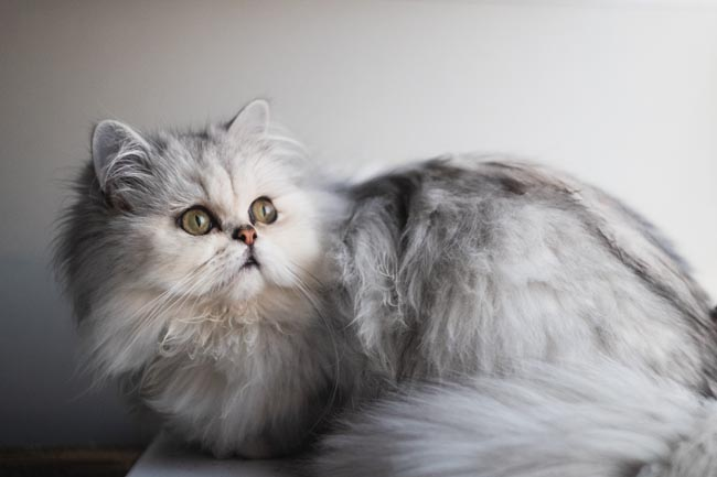 Chinchilla cat health