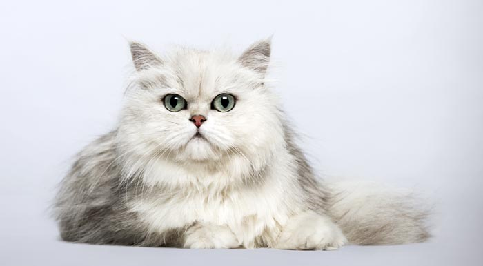 Chinchilla Persian breed profile