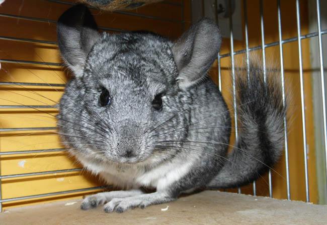 Chinchilla rodent