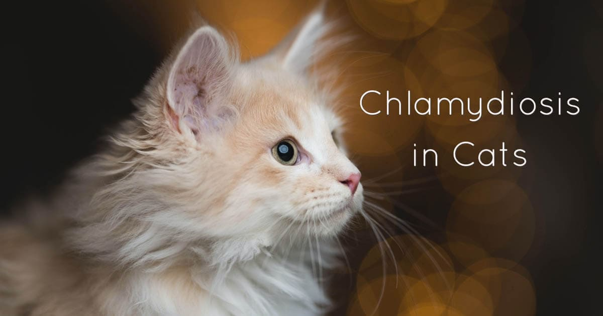 Chlamydiosis in cats