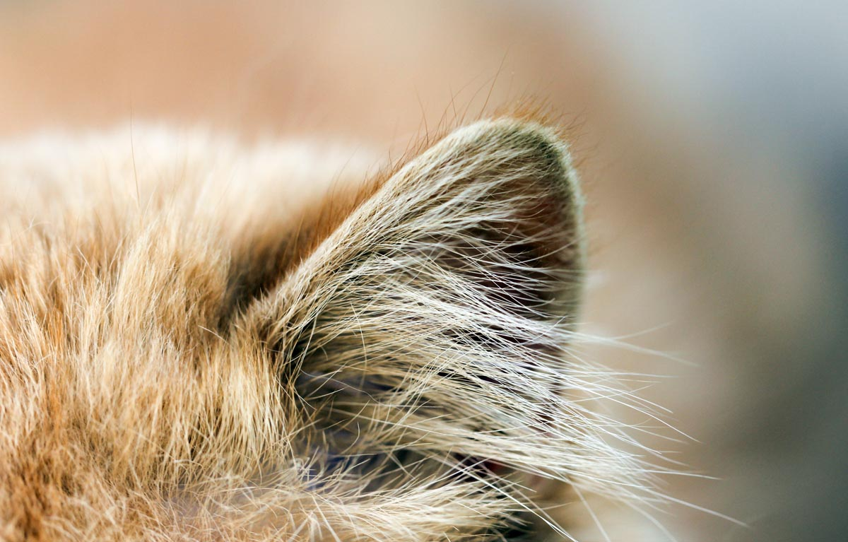 Close up of a cat's ears
