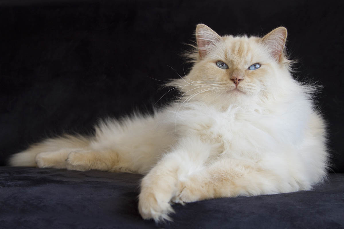 Cream point Ragdoll cat