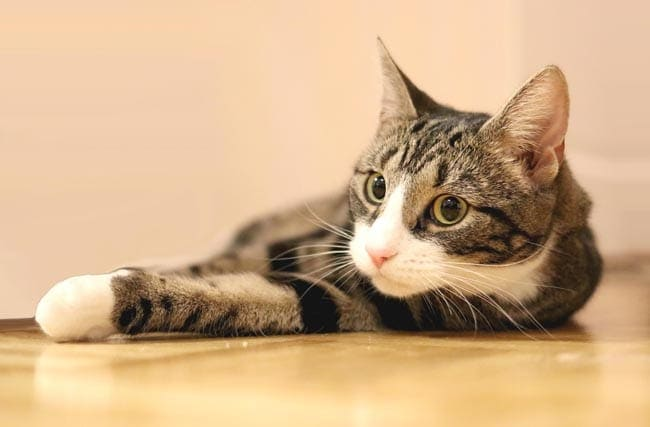 Cushing's syndrome in cats