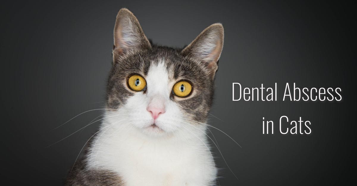 Dental abscess in cats