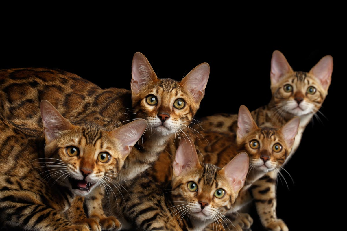 Do cat breeders make money?