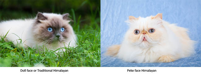 Doll face and peke face Himalayan