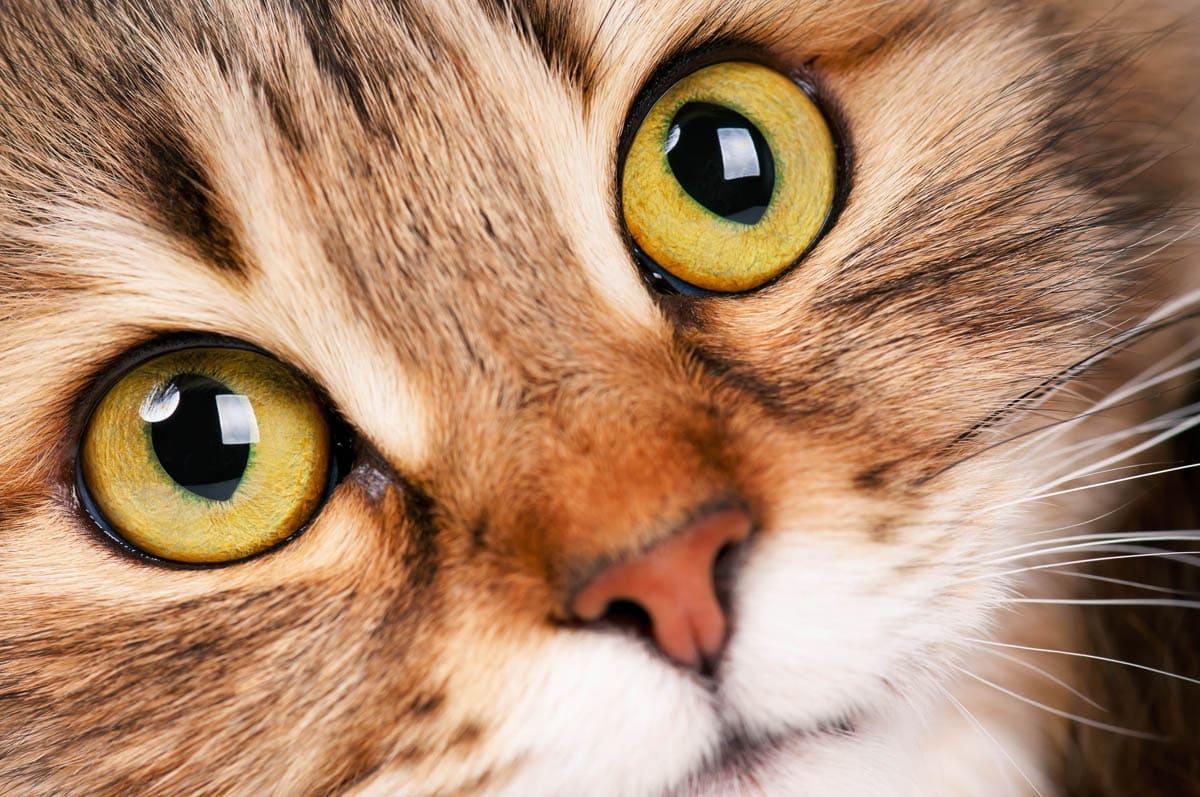Endodontic disease in cats