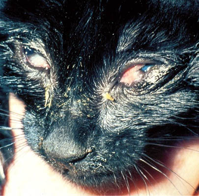 A cat's eyes affected by feline herpes