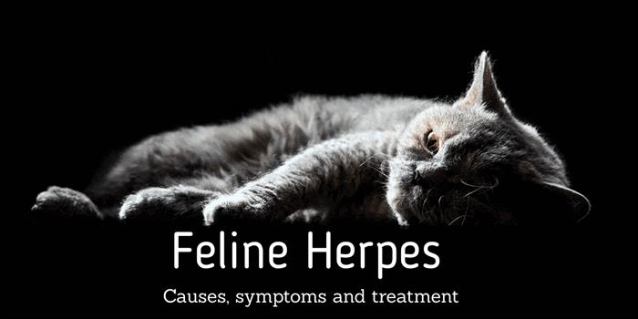 Feline herpes