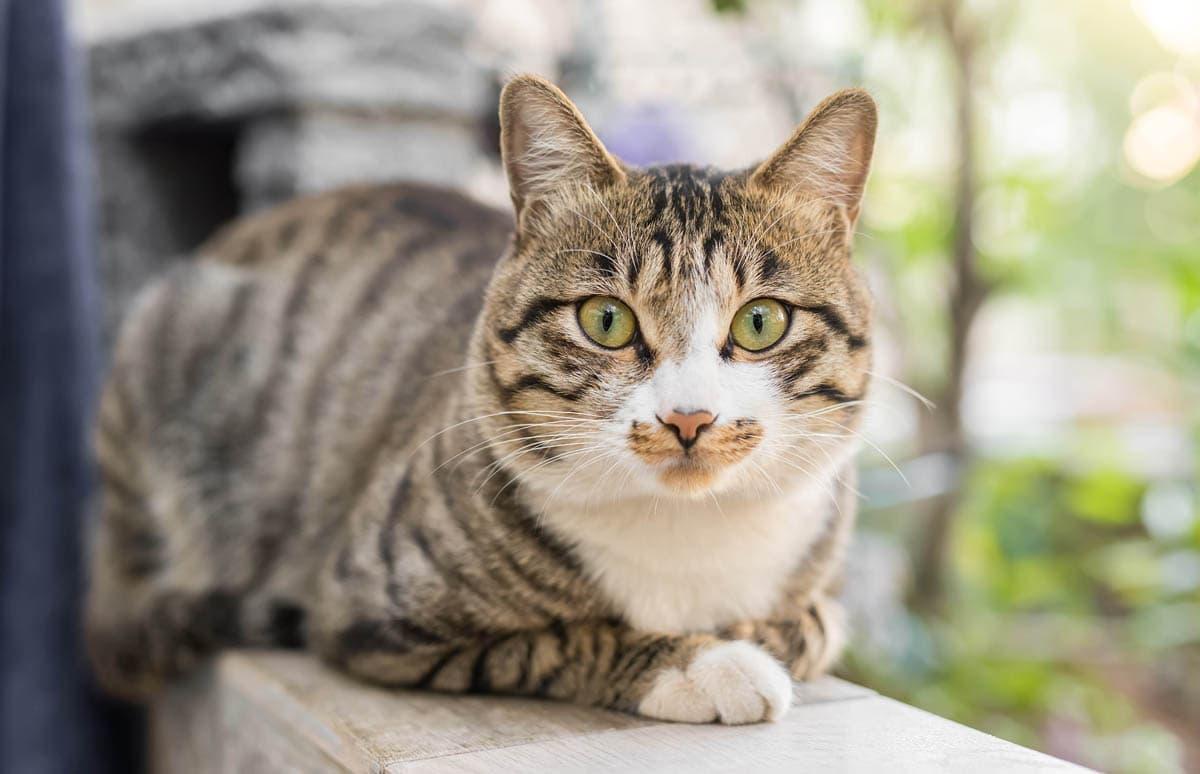 Feline herpesvirus
