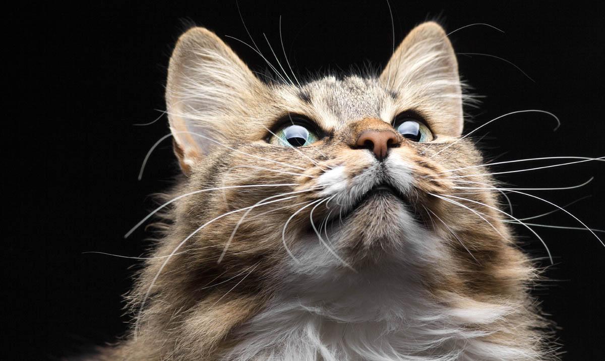 Fibrosarcoma in cats