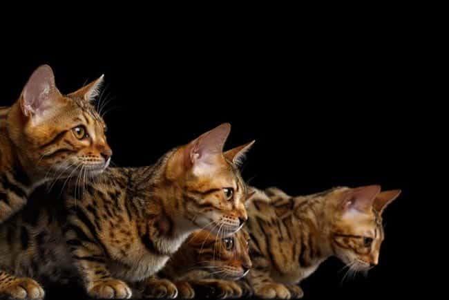 Four Bengal cats