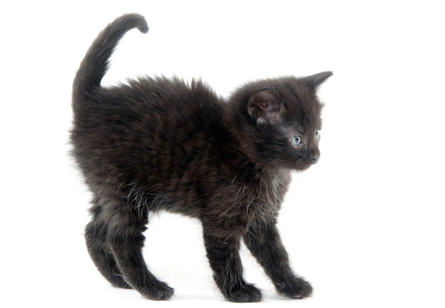 Ghost tabby markings on a solid black kitten
