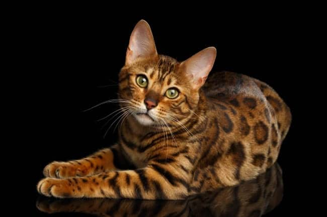 Healthy coat on a Bengal cat