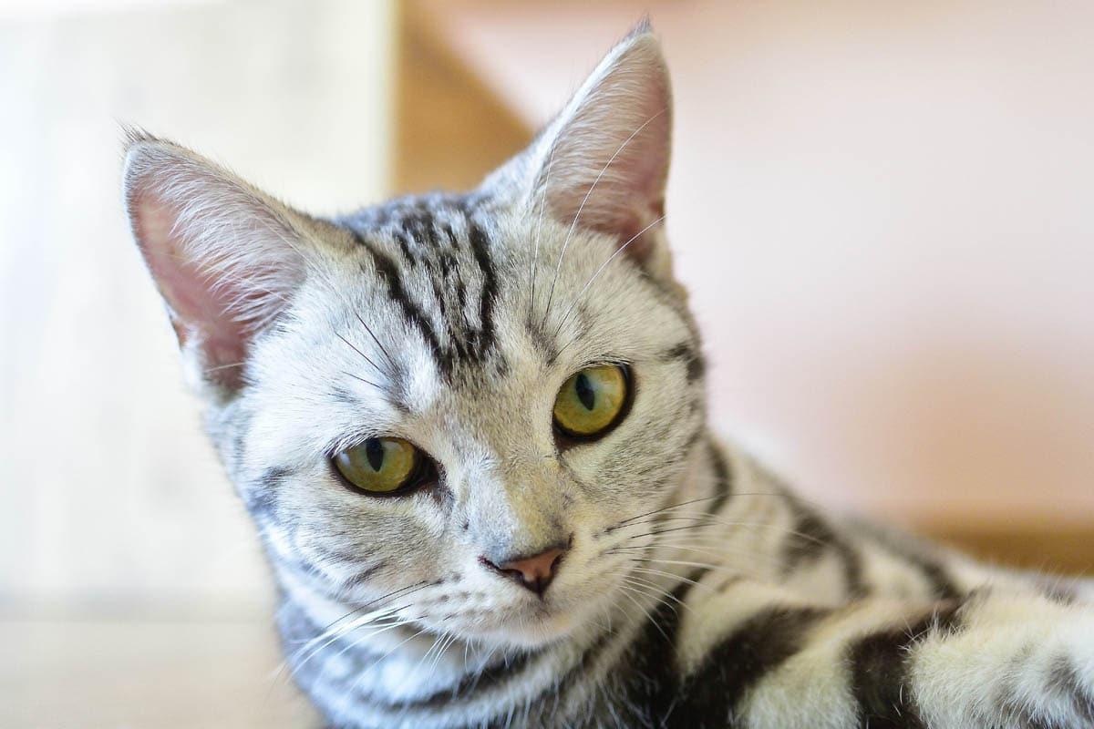 Hemobartonellosis in cats