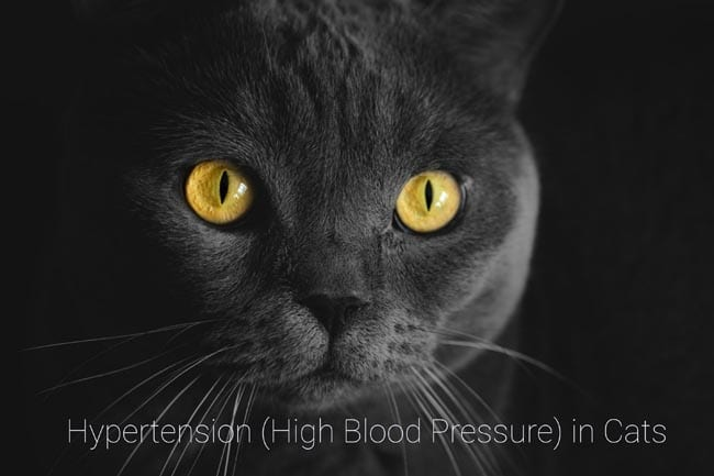 Hypertension (high blood pressure) in cats