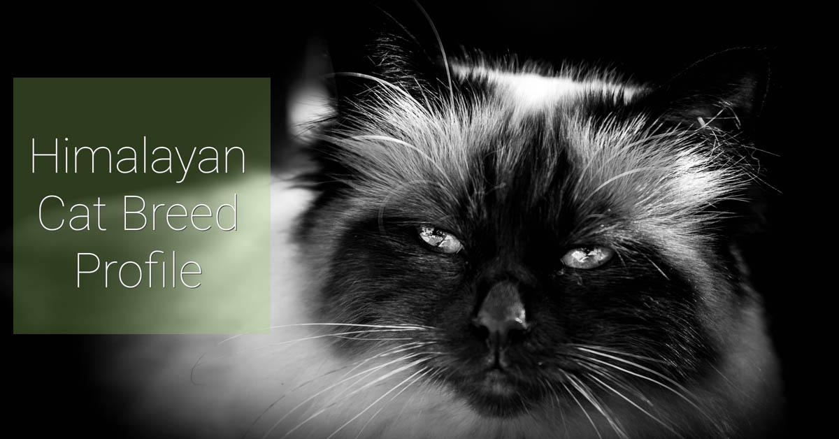Himalayan cat breed profile