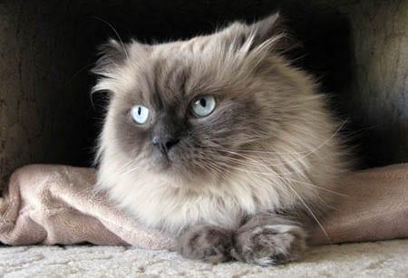 Blue point Himalayan cat