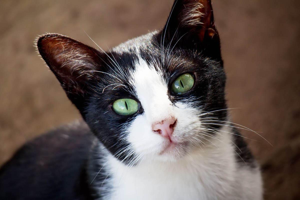 Feline hypertropic cardiomyopathy
