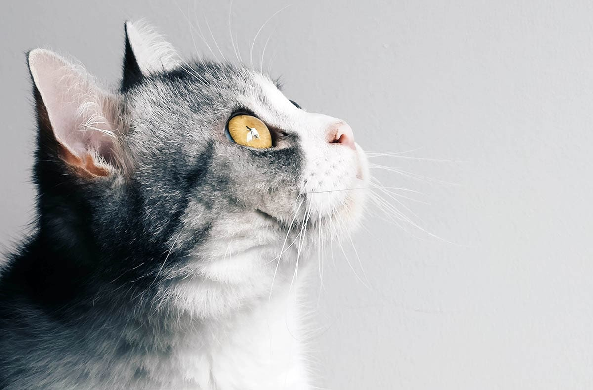 Hypocalcemia in cats