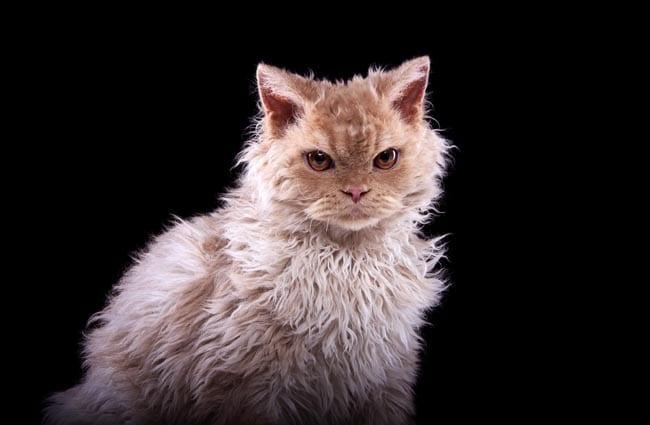Immune Mediated Hemolytic Anemia in Cats - Causes, Symptoms & Treatment of IMHA