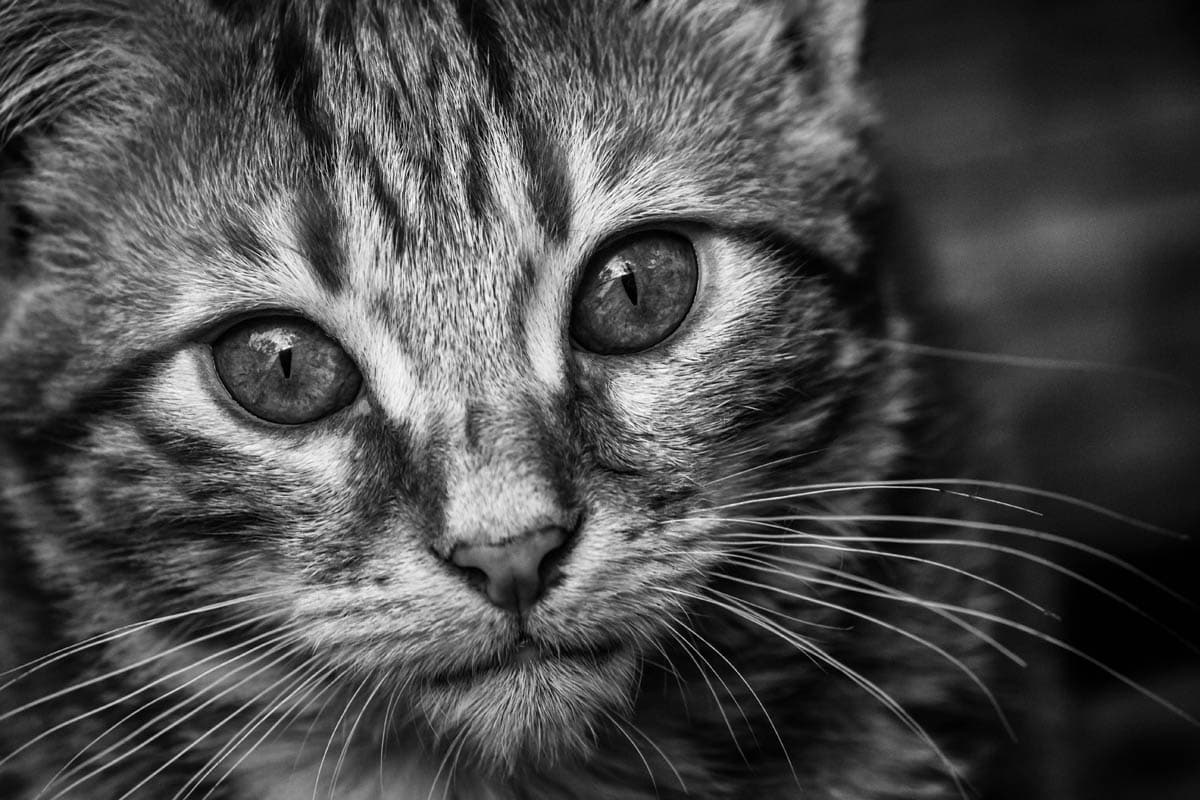 Immune mediated hemolytic anemia in cats