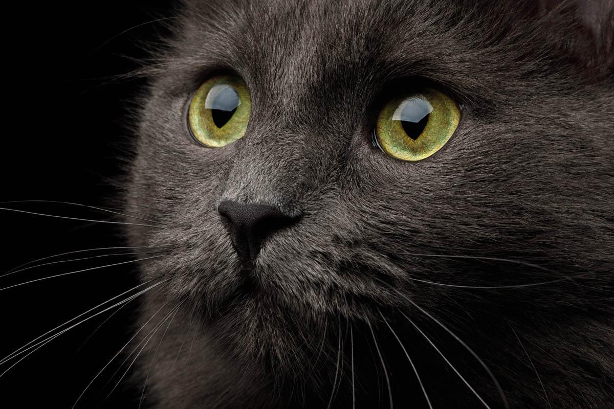 Inflammatory bowel disease in cats