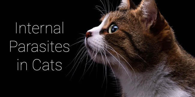 Internal Parasites in Cats 1