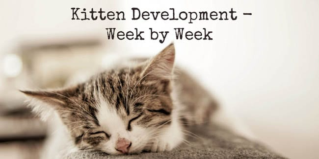 Kitten development week by week