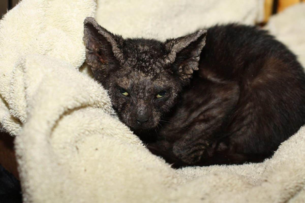 Kitten with mange