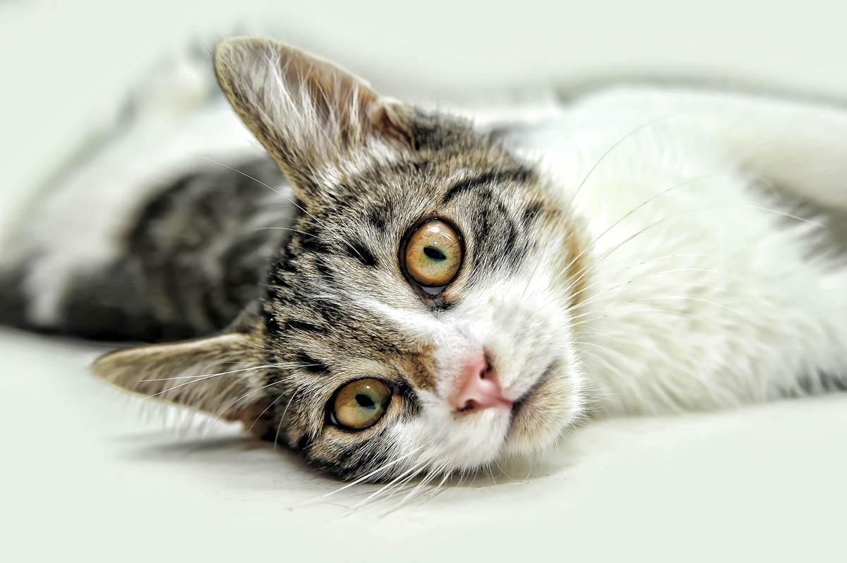 Lipomas in cats