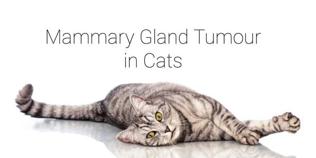 Mammary gland tumour in cats