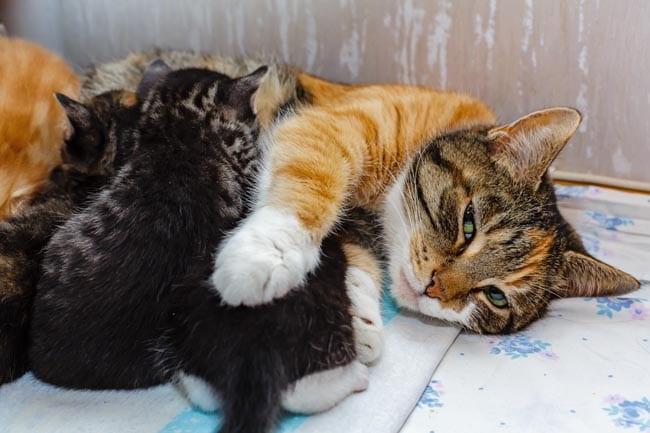 Milk fever in cats