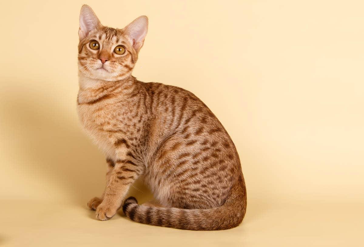 Ocicat breed profile