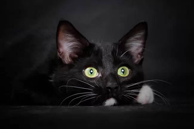 Pemphigus in cats