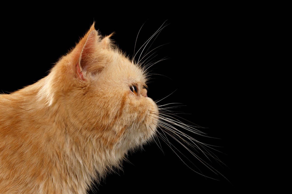 Side profile of a Persian cat