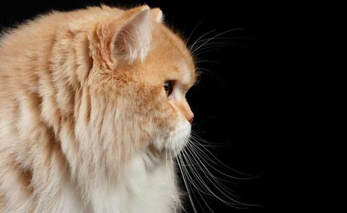 Persian cat profile