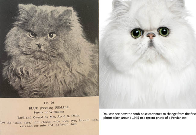 Persian cat nose