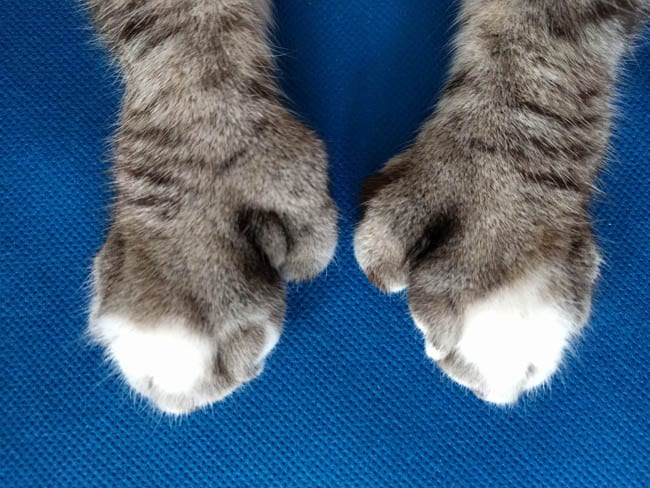 Polydactyl cat