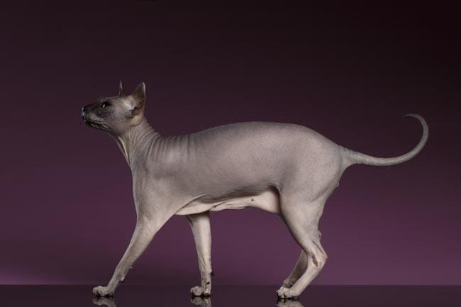Primordial pouch on a Sphynx cat