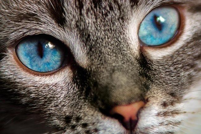 Pseudorabies in cats