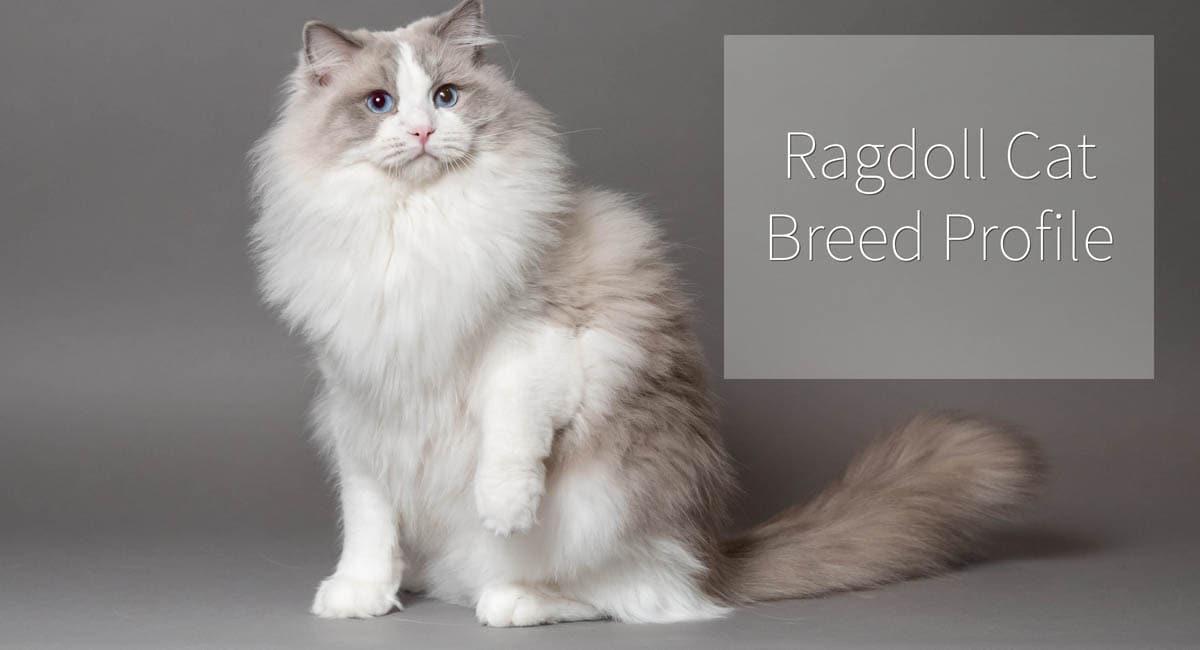 Ragdoll cat breed profile