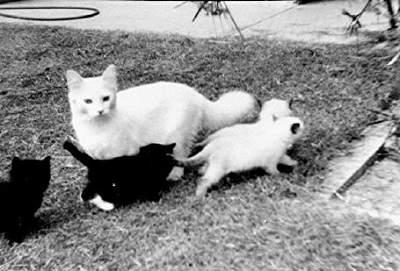 Josephine Ragdoll cat