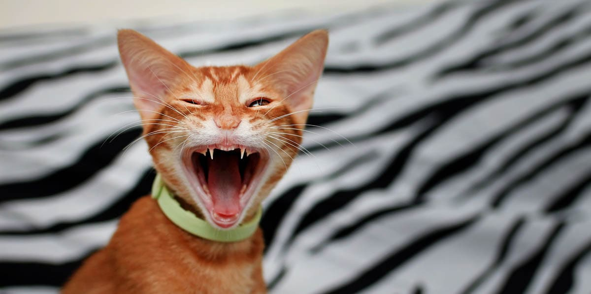 Retained baby teeth in cats