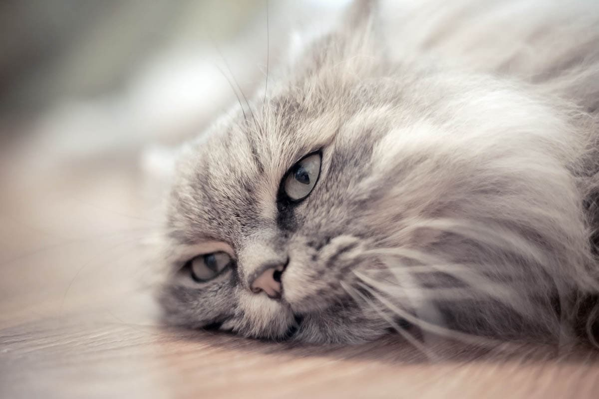 Ruptured bladder in cats