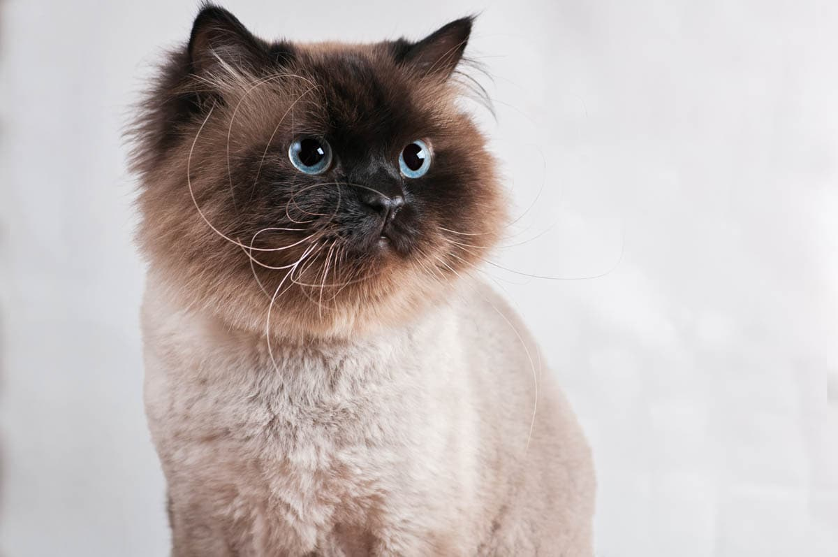 Seal point Himalayan cat